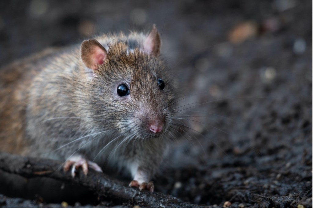 a Norway rat