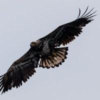 Juvenile Eagle II