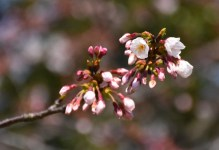 Making the background all blurry is what cherry blossom photography is all about