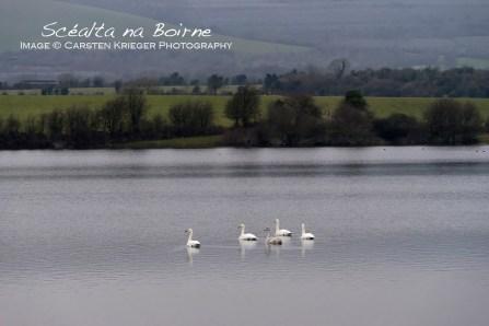Whooper Swans, Winter 2015