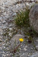Turlough Dandelion