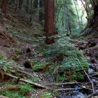 Tall Tree, Short Creek