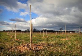 Some of this winters tree planting. These whips were heeled in under 5 feet of water for a couple of weeks but seem to have some signs of life