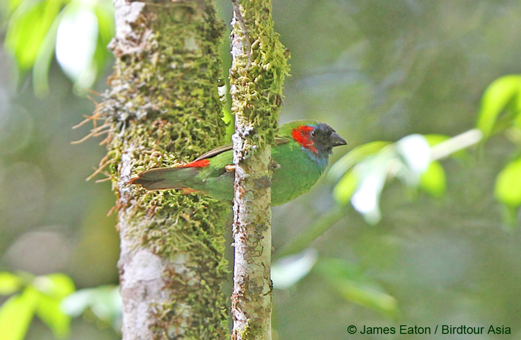 Photo of the new bird on Timor, photo James Eaton / Birdtour Asia