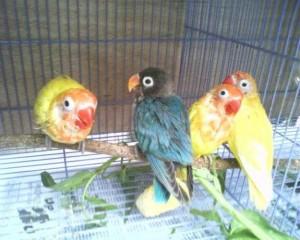 Tips Perawatan Eksklusif Untuk Lovebird Mabung (sedang rontok bulu)