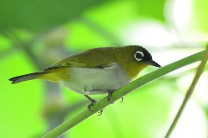 Burung Pleci Black Capped (leesbird.com)