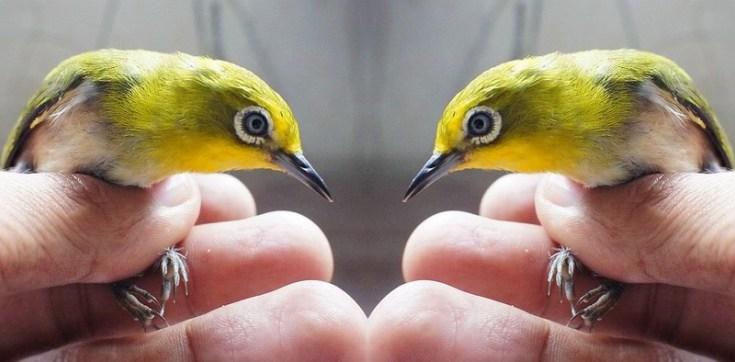 Burung Pleci Mata Putih (Kaskus.co.id)