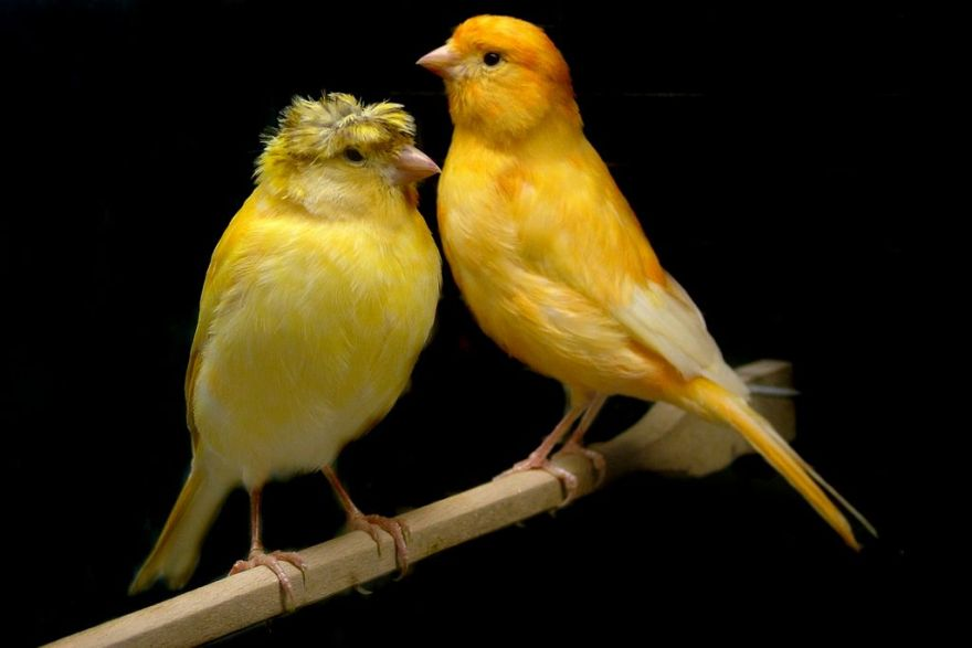 5 Cara Merawat Burung Kenari Sebelum Kawin