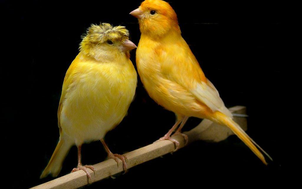 Burung kenari kawin (animal-dream.com)