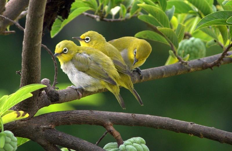 7 Jenis Burung Pleci Paling Populer di Indonesia