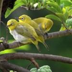 Jenis Burung Pleci