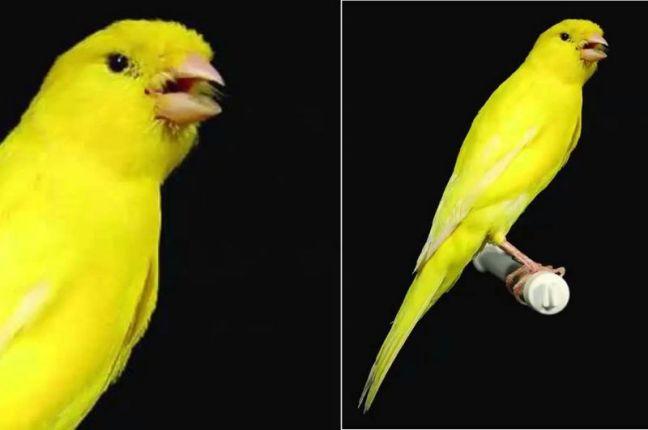 Burung Kenari Lancashire (1080plus)
