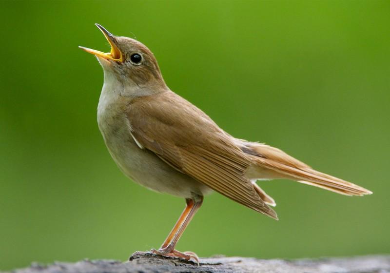 Video Burung Bulbul dengan 300 Jenis Kicauan yang Melegenda