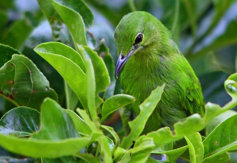 Burung Cucak Ijo Mini (flickr.com)