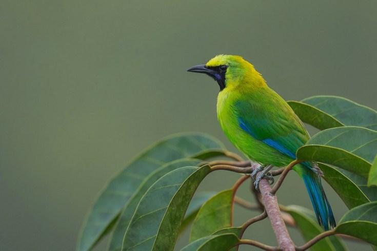 Burung Cucak Ijo (singaporebirds.com)