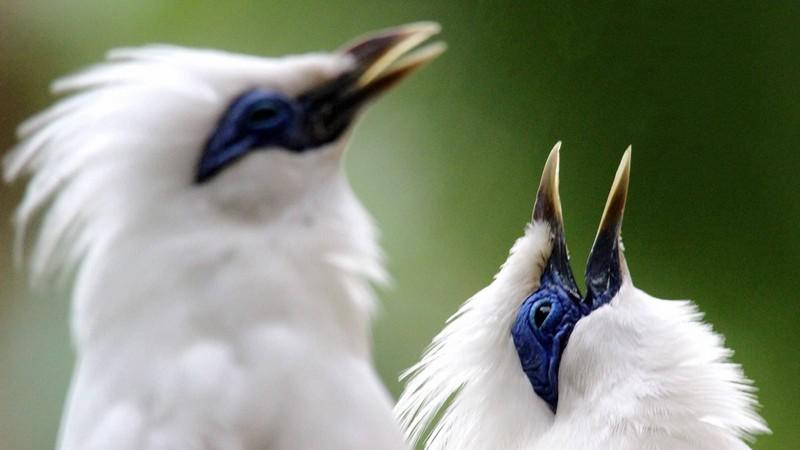 Burung Jalak Bali (begawan.yazzine.com)