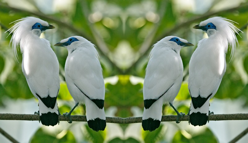 6 Jenis Burung Jalak Terpopuler di Indonesia