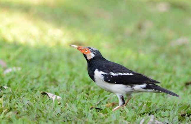 Burung Jalak Suren (xuite.net)