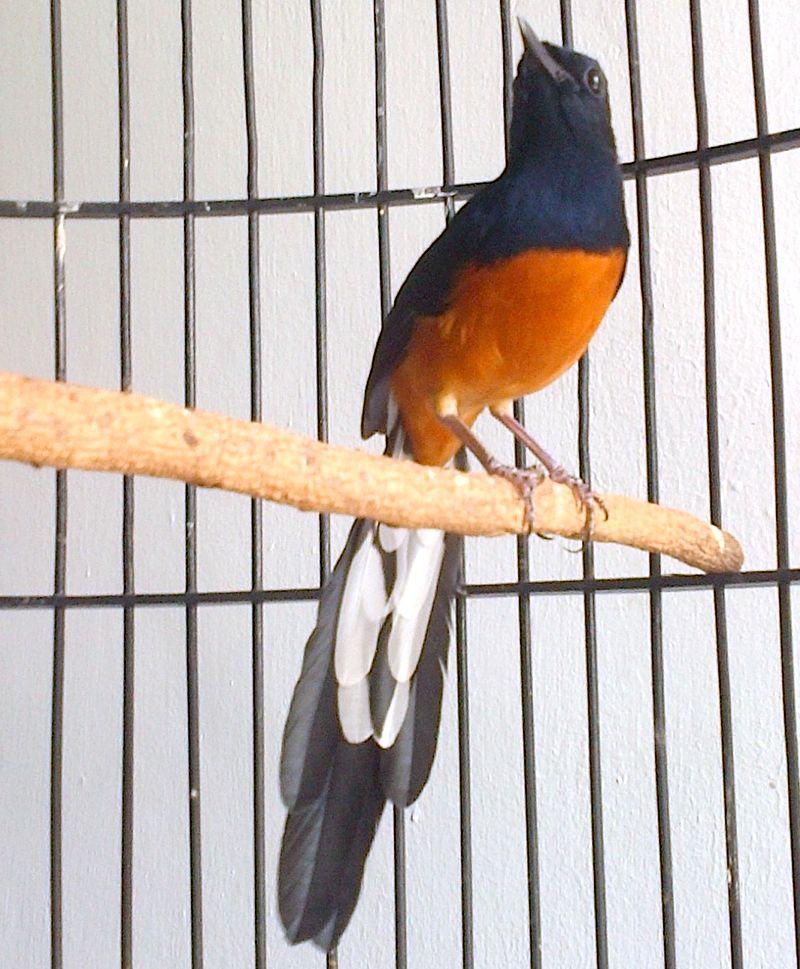 Burung Murai Batu Aceh (murai-batu-aceh-trbf2015.blogspot.com)