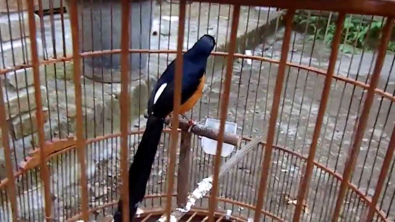 Burung Murai Batu Lampung (youtube.com)