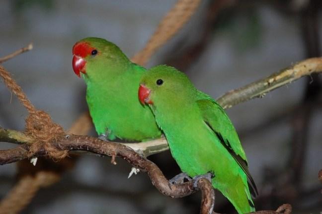 Lovebird Abisinia (dedandes)