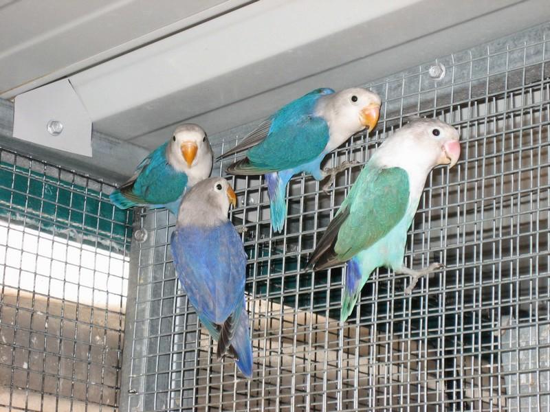 Lovebird Cobalt (absaustralia)