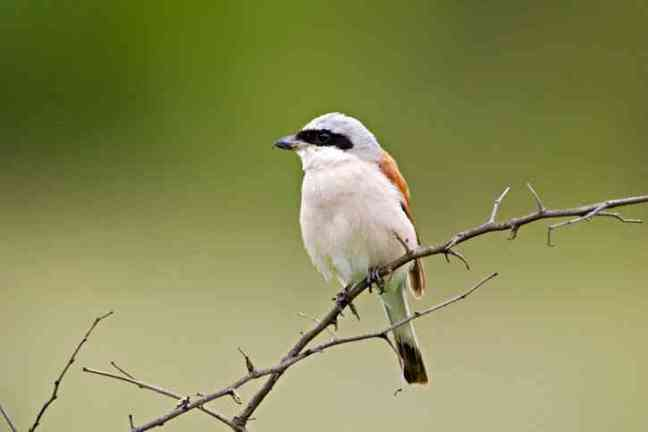 Red-backed shrike, Lanius collurio (animalia-life.com)
