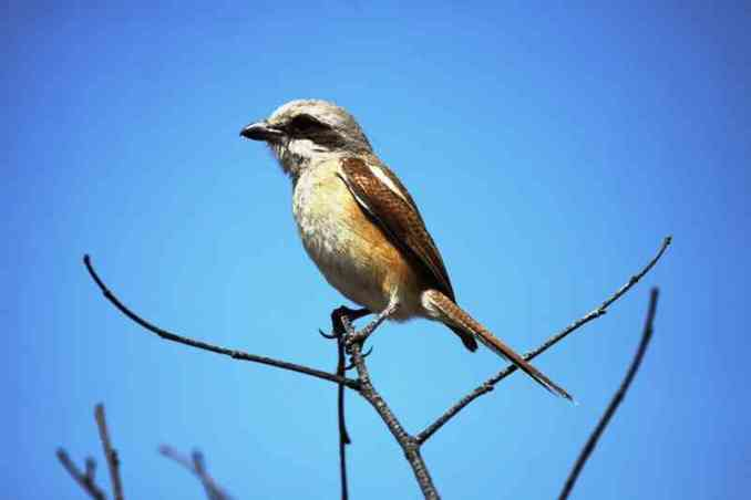Souza shrike, Lanius souzae (outdoorphoto.community)