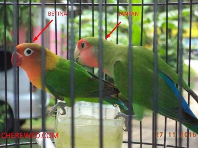 Bentuk paruh Lovebird (cherewed.com)