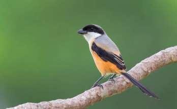 Burung Cendet (singaporebirds.com)