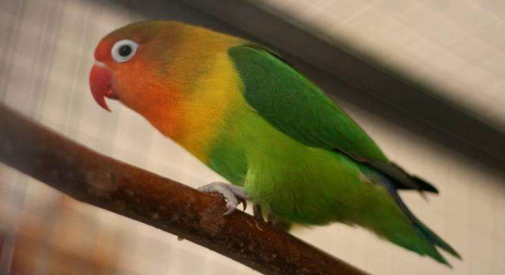Lovebird (shwebook.com)
