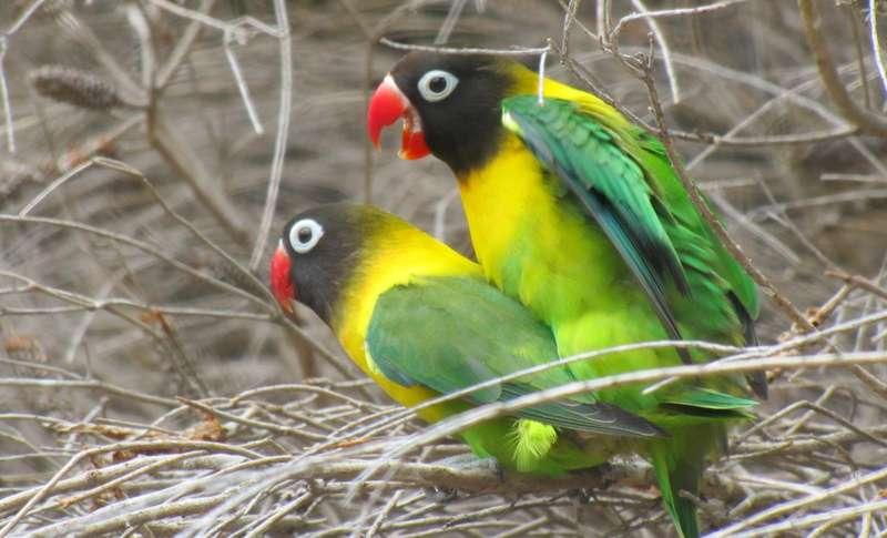 Lovebird (trevorsbirding.com)