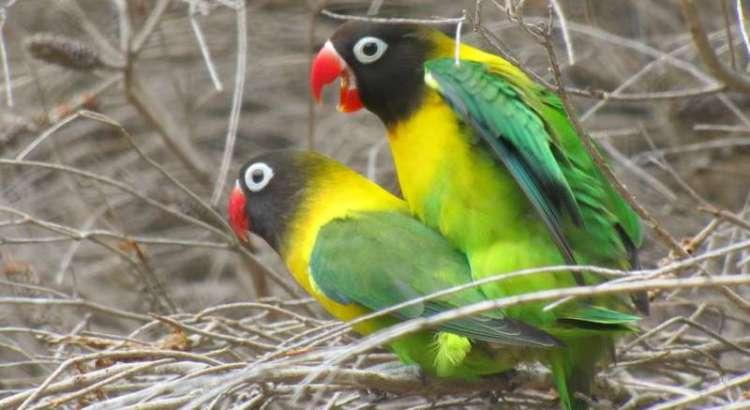 10 cara membedakan lovebird jantan dan betina yang paling