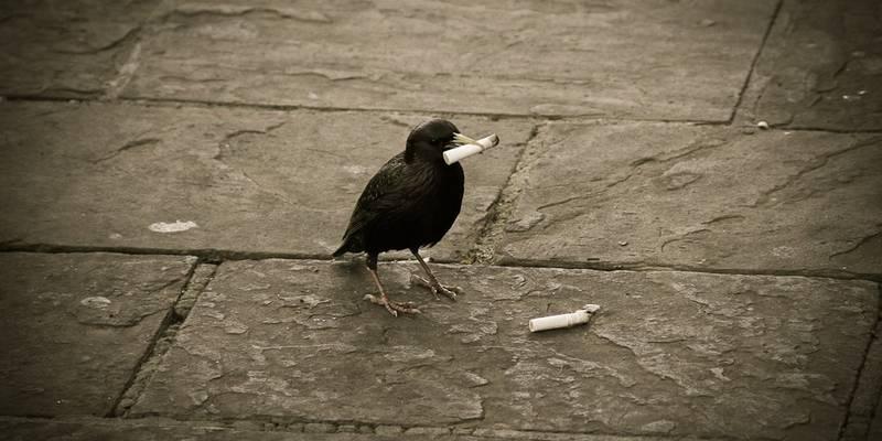 Burung Merokok (surfer.hr)
