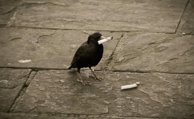 Bahaya Asap Rokok bagi Kesehatan Burung