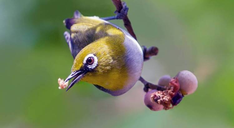 Burung Pleci (birdsthatfart.com)