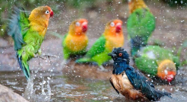 Lovebird Mandi Hujan (pinterest.com)