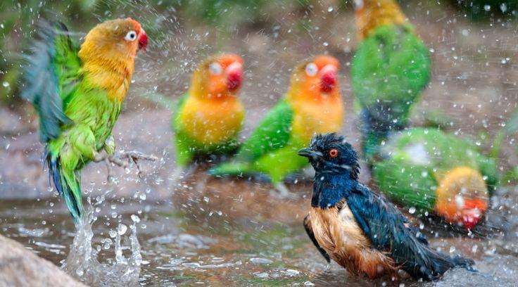 12 Jenis Burung yang Suka Hujan-Hujanan dan 7 Prosedur Mandi Air Hujan yang Benar