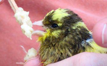 Burung Kenari (canarytales.blogspot.co.id)
