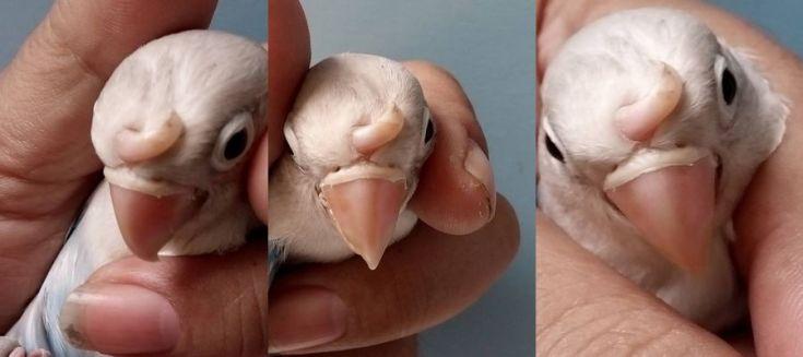 Lovebird langka bertanduk (facebook.com)