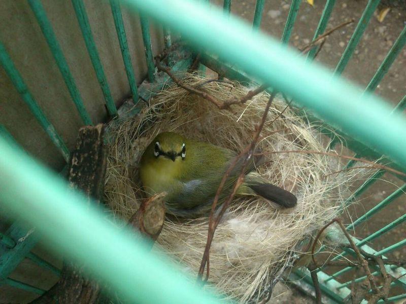 Pleci mengerami telur (burung252.blogspot.co.id)
