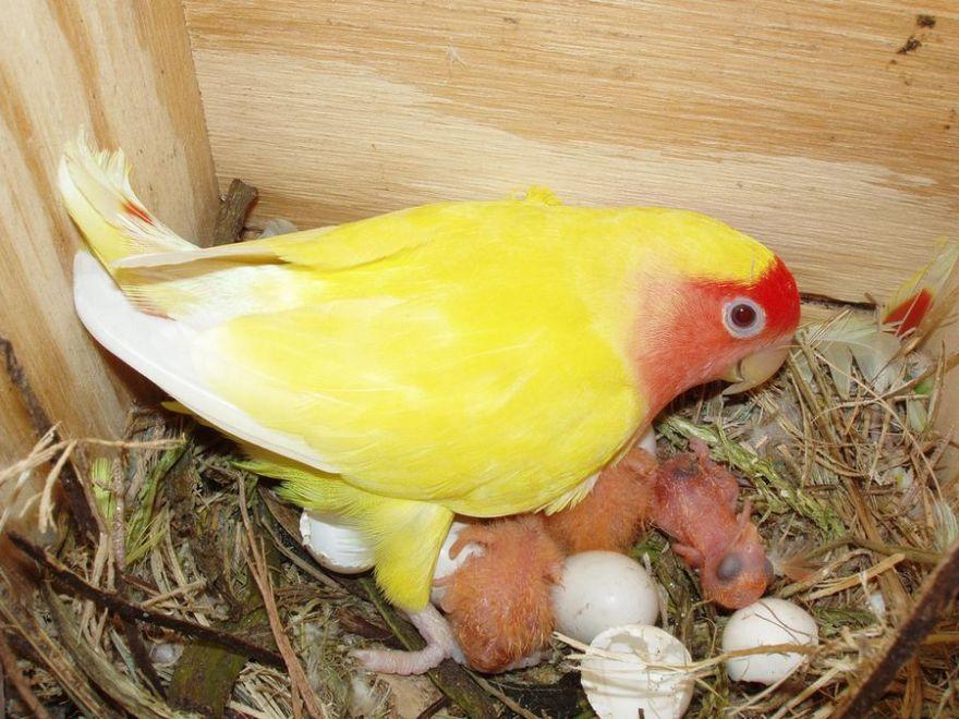 Cara Ternak Lovebird Untuk Pemula yang Baru Memelihara Lovebird