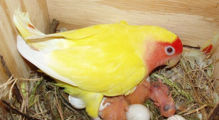 Ternak Lovebird (pinterest.com)