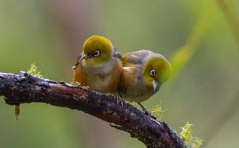 Ternak burung Pleci (polit.ru)