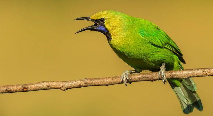 Burung Cucak Hijau (hotspotbirding.com)