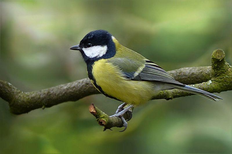Burung Gelatik Batu (Pixabay.com)