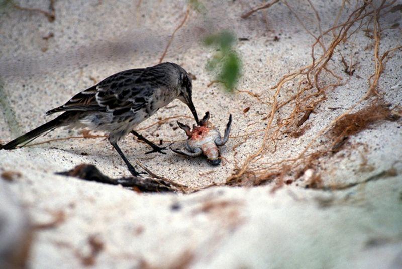 Burung Hood Mockingbird (Fukarf.com)