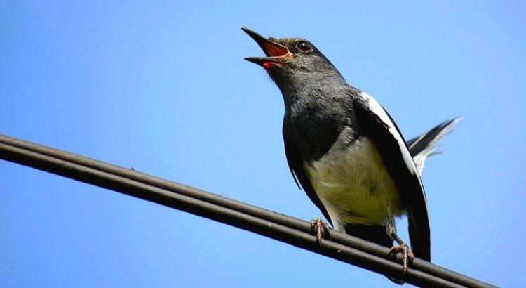 Burung Kacer (commons.wikimedia.org)