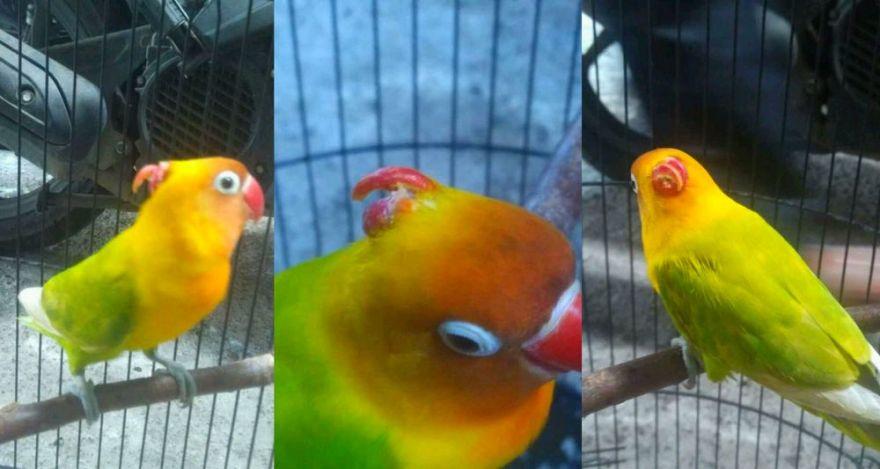 Lovebird Bertanduk Muncul Lagi di Solo, Harganya Rp 15 Juta