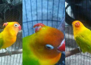 Lovebird bertanduk dari Solo (facebook.com)